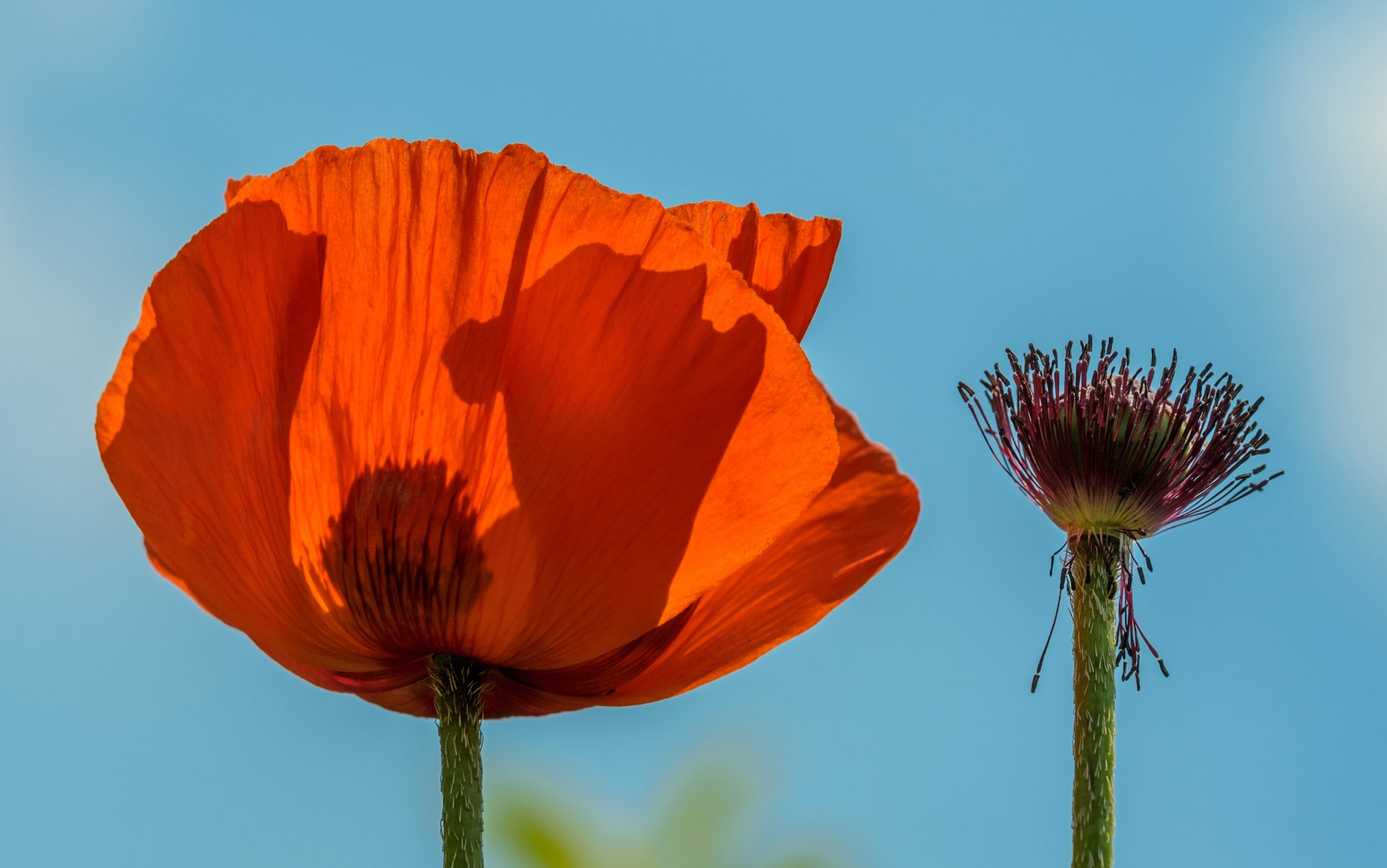Grief Poppy on its own
